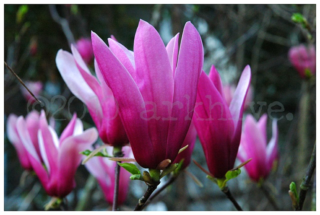 'tulip tree'