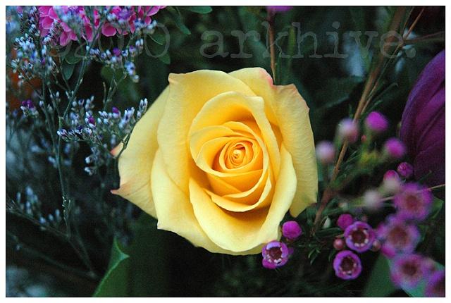 'yellow rose II'