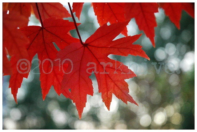 red maple II