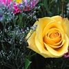 'yellow rose I'