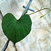 'heart shaped leaf'  (in memory of Kip)