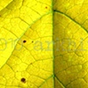 'yellow leaf detail'