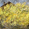 Forsythia on Ore Hill