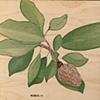 Magnolia on Wood