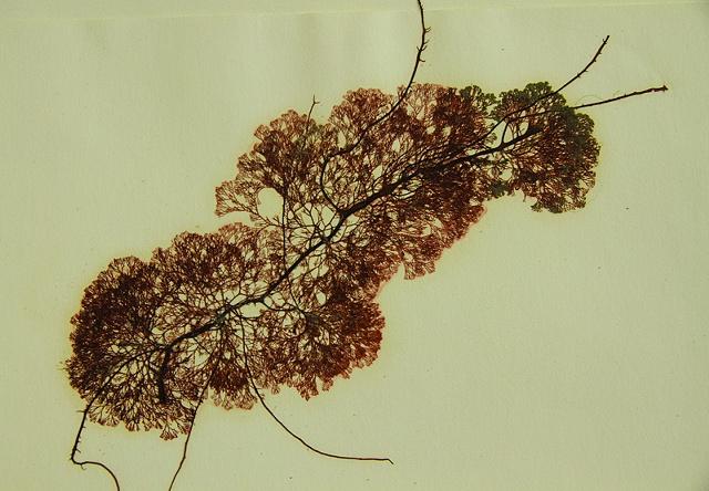 Ceramium pacificum  (epiphytic on Gracilaria sp)