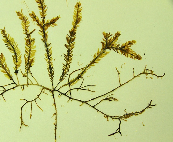 Caulerpa taxifolia  (Listed as one of two algae on the world's 100 worst invasive species list compiled by the IUCN Invasive Species Specialist Group)