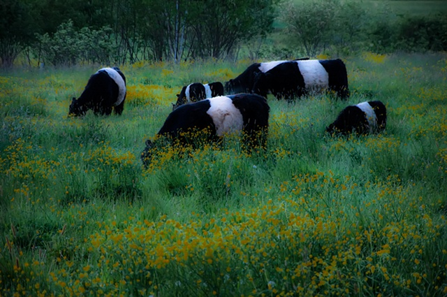 Belted Galloways in Sping