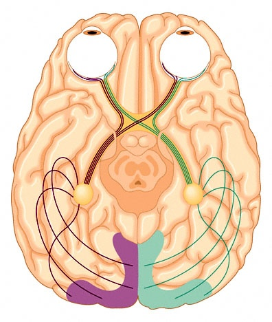 Inferior view of the human brain, including eyes, cranial nerve II (optic nerve), optic chiasma, and visual cortex.