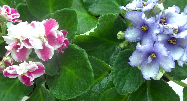 Periwinkle and Pink African Violet