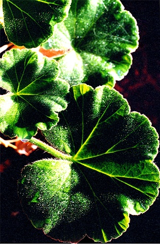 Geranium Leaves