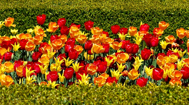 Tulips and Hedges