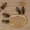 Bees drinking bee tea.