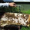 A full frame of honey.