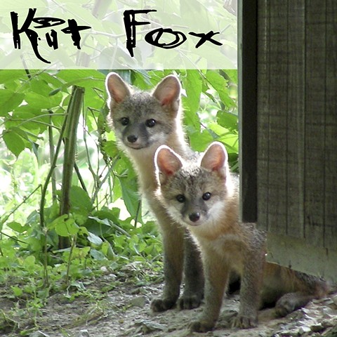 Kit Fox Faunagraphs