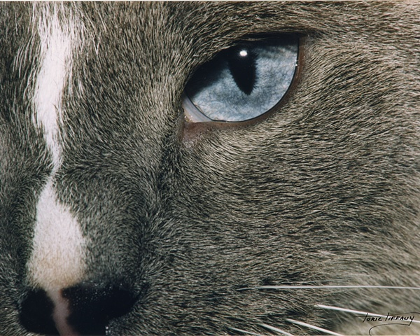 Faunagraphs, cat, eyes, close up
