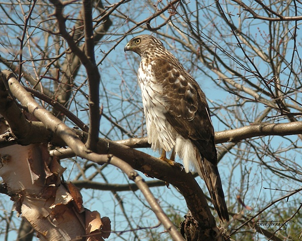 Faunagraphs, Cooper Hawk, Bird, wildlife