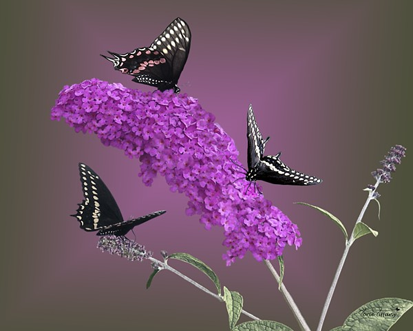 fine art, Faunagraphs art, butterfly art, animal art, nature art, cat art, woodland art, photographic art, digital art, digital painting