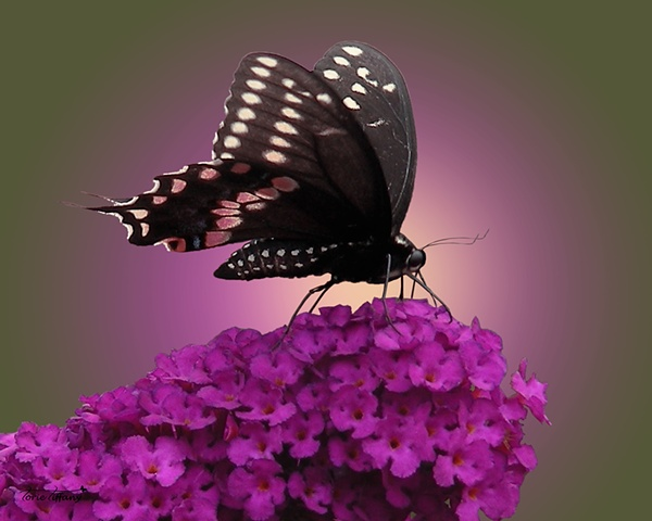 Faunagraphs, butterfly photo, butterfly bush photo, nature photo, Black Swallowtail butterfly photo