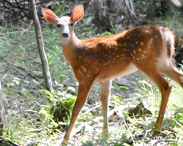 Faunagraphs, deer, bambi, wildlife, nature, animals