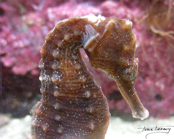 Faunagraphs, seahorse, wildlife, nature, animals
