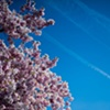 Cherry Blossom & Sky ~ Washington, D.C.