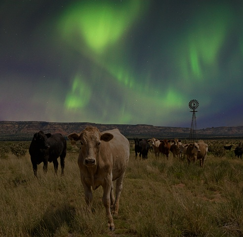 Cows, New Mexico