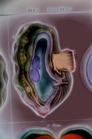 "Tridacna I (Giant Clam) 2019 zone plate photograph archival pigment print 20""x13""  from Lorenz Oken, ""Allgemeine Naturgeschichte V. Zoologie"" 1843"