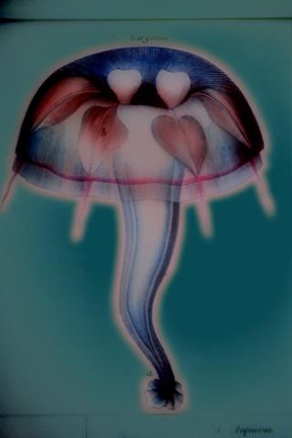"""Geryonia (Jellyfish) 2019 zone plate photograph archival pigment print 20""""x13""""  from Lorenz Oken, """"Allgemeine Naturgeschichte V. Zoologie"""" 1843"""