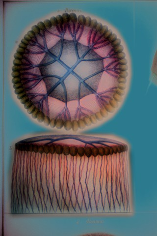 """Berenice (Jellyfish) 2019 zone plate photograph archival pigment print 20""""x13""""  from Lorenz Oken, """"Allgemeine Naturgeschichte V. Zoologie"""" 1843"""