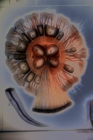 """Cyanea (Jellyfish) 2019 zone plate photograph archival pigment print 20""""x13""""  from Lorenz Oken, """"Allgemeine Naturgeschichte V. Zoologie"""" 1843"""
