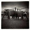 Elephants, Hoxie Brothers Circus