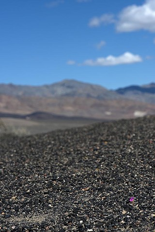 """Single Purple Flower, Death Valley"""