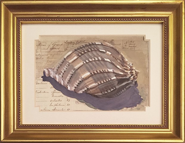a collector's conch shell portrayed as a prized specimen