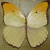 Yellow Butterfly Anteos