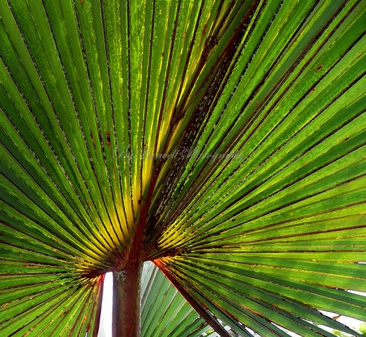 Florida Palm, Flower
