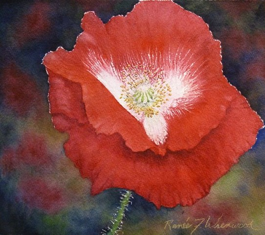 A brilliant Red Poppy in transparent watercolor painted by a McKinney, TX Watercolor artist