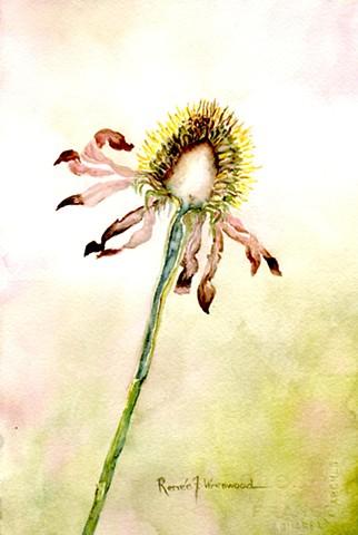 Echinacea Dichotomy