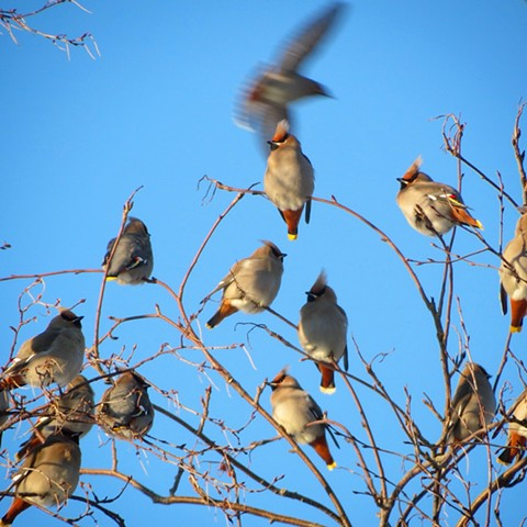 Cedar Waxwings in Winter