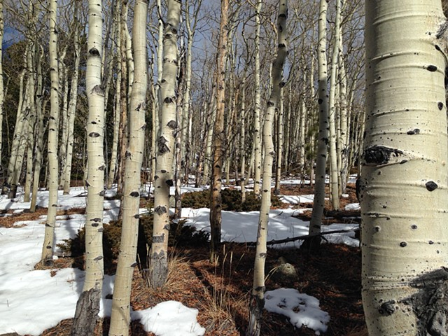 old growth aspen forest in Russell Gulch