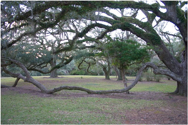 Live Oak, Avery Island, Louisiana, Acadian, sense of place, Louisiana Contemporary art, ULL