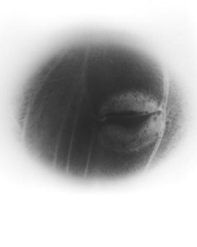 Eye Spot on Luna Moth Wing