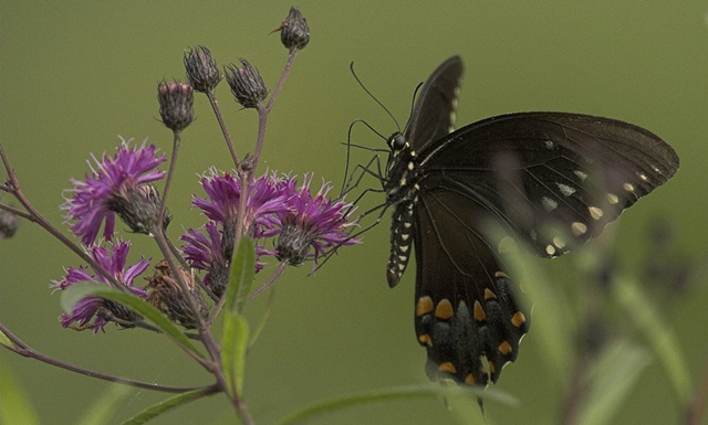 Ironweed flower and spicebush swallowtail butterfly