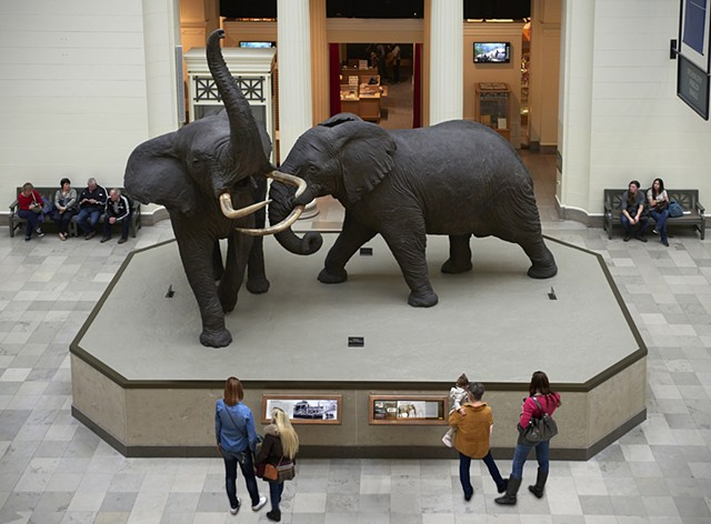 """Akeley's Fighting Bulls"" exhibit The Field Museum Renovated October 2014"