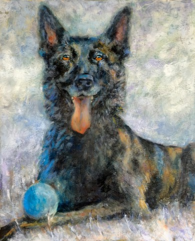 dutch shepherd dog portrait dallas