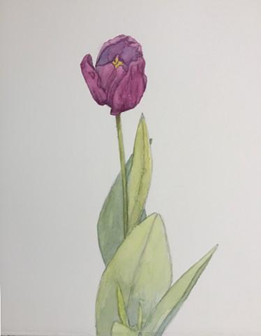 Purple Tulip, Botanical study