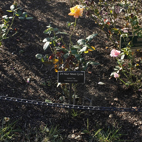 24 Hour News Cycle From The National Rose Garden Series