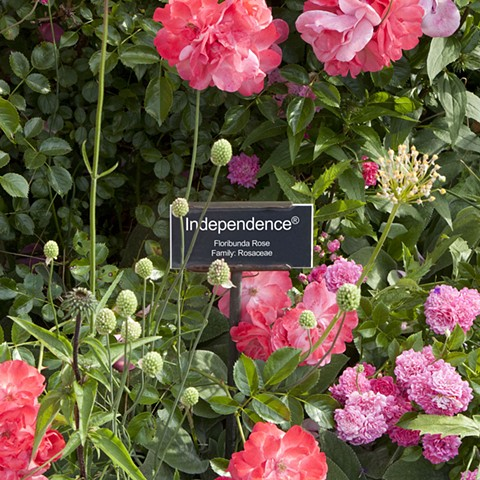 Independence ® From The National Rose Garden Series