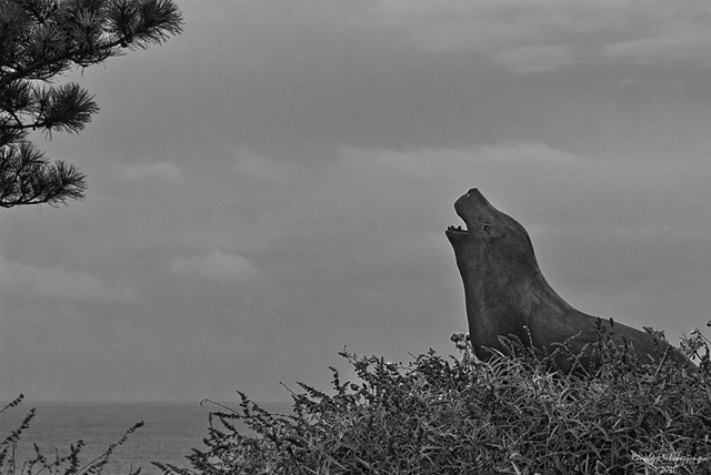 Barking Sea Lion (B&W)