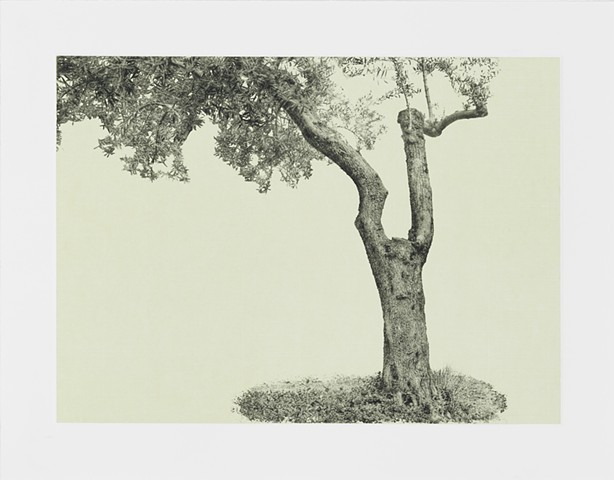 Olive tree, Garden of Gethsemane, Jerusalem,