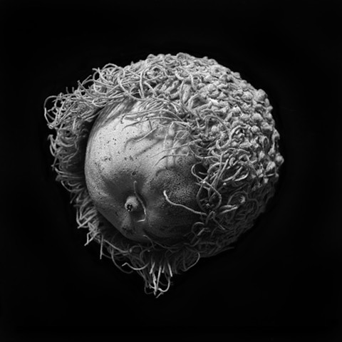 Still-life photograph of a burr oak acorn (archival pigment print).